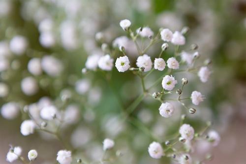 かすみ草の願い