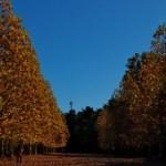 プラタナスの並木路