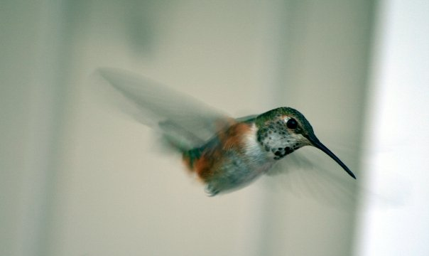 hummingpig