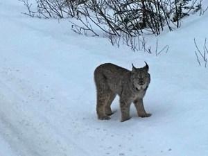 Lynx sighting, Jasper in the winter