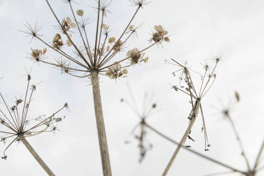 queen ann's lace in seed from an article about gardening and wellbeing