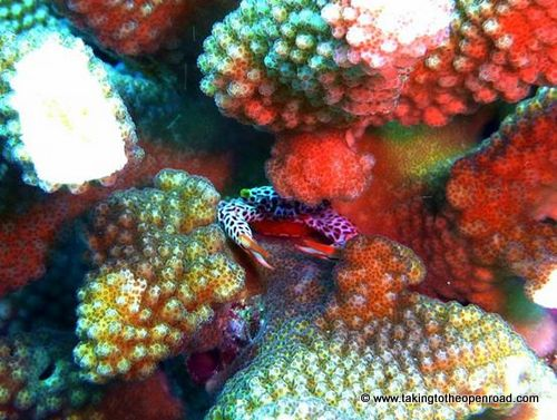 wicked diving review red spotted coral guard crab taking to the open road peggy tee