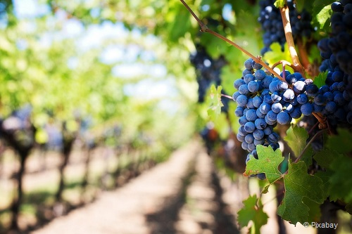 weekend in the hunter valley grapes wine tasting pixabay takingtotheopenroad peggytee