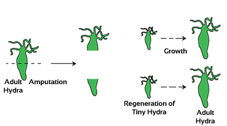 Class 10 Science Notes & NCERT Solutions-How do organisms reproduce