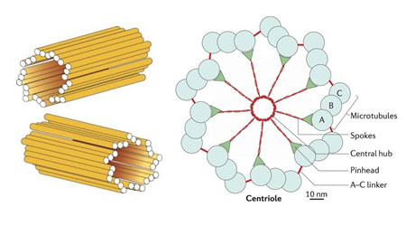 Centrioles its structure and functions - Biology Notes for Class 11