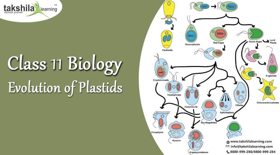 Evolution of Plastids, Complex plastids, Biology notes for Class 11