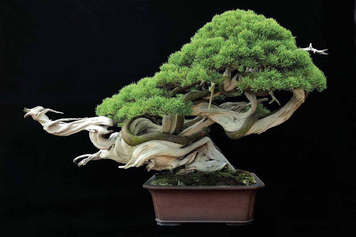 TAKUMI lifestyle - Il bonsai tra arte ed estetica - Il dragone danzante - Kimura