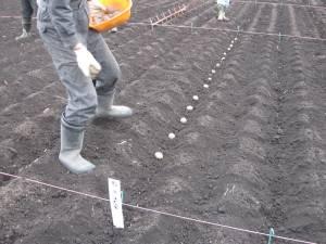 ジャガイモも施肥試験です。丁寧に植え付けます