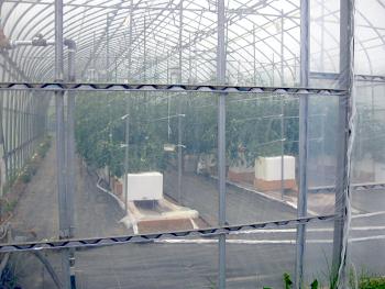 前納式のトマト養液栽培です