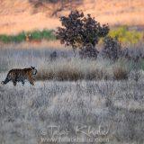 Tigress Barasingha Kanha
