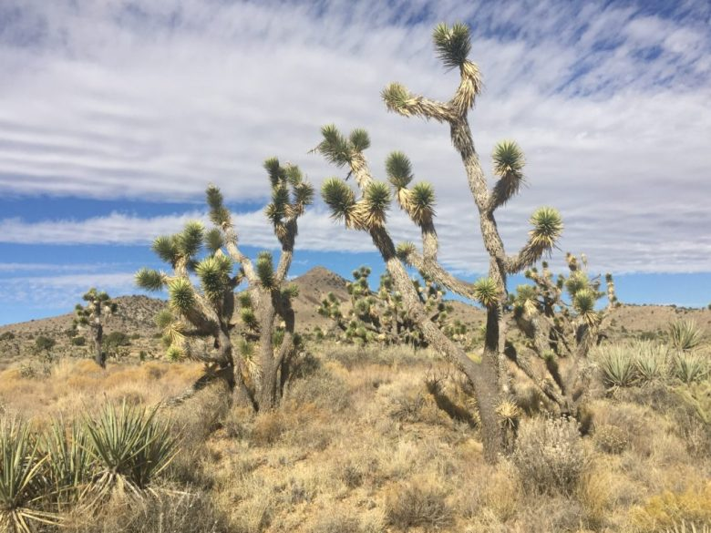 New York Mountains, Mojave, Mojave Desert, Mojave National Preserve, Joshua Trees, Mountains, California, Nevada