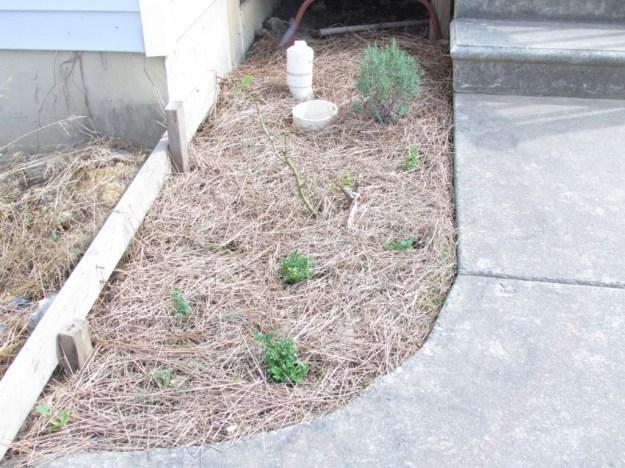 garden update 3 (15)