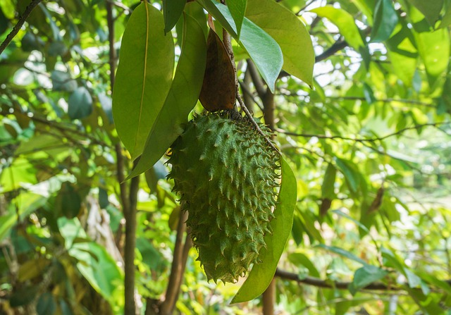 Soursop a sour sweet fruit