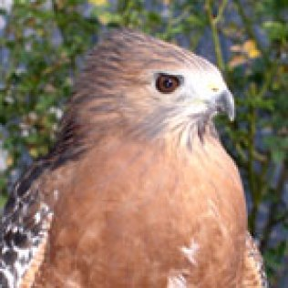 Rafael - Red Shouldered Hawk