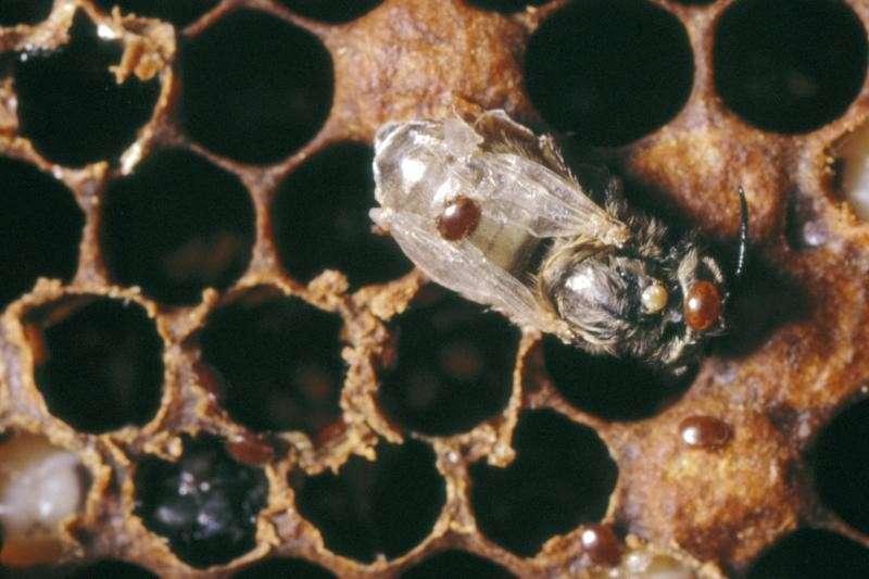 Varroa Mite On Honeybee