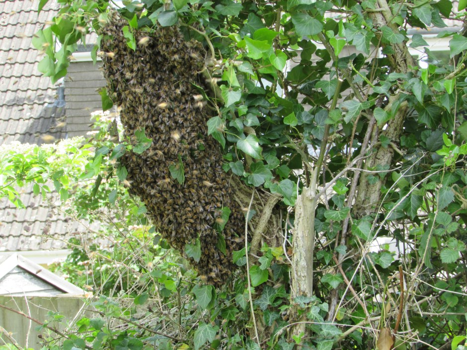 Swarm From East Facing Hive June 2015