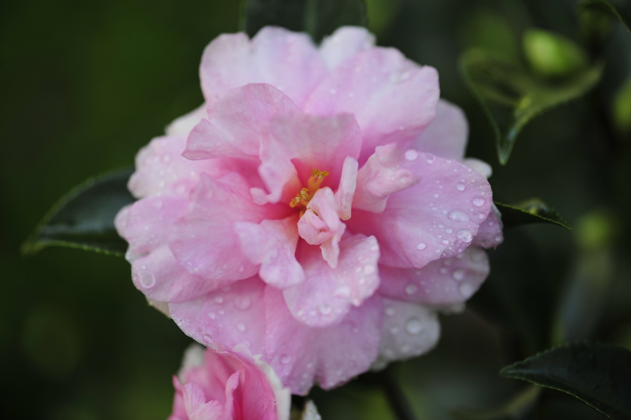Camellia Buying Guide Tallahassee Nurseries Camellias