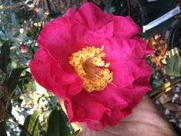 Camellia. Frank Houser