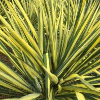 Yucca. Color Guard