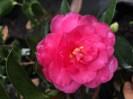 Shi Shi Gashira Camellia