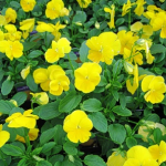 Crystal Bowl Yellow
