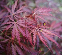 Red Pygmy Japanese Maple
