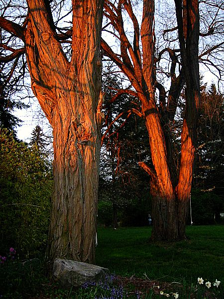 two large black locust glowing at sunset Vashon Island