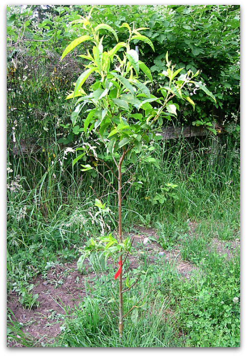 bareroot peach tree year after being planted