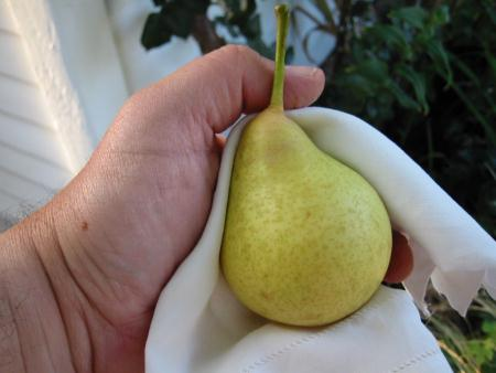 Tyson Pear ripe and ready to eat
