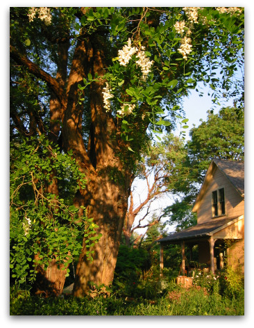 old black locust trees in bloom