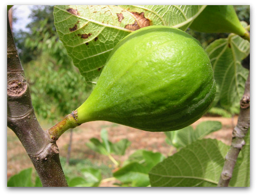 503 content not readyunripe desert king fig not ready to pick