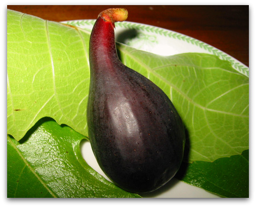 Negronne Fig or Violette du Bordeaux Fig on leaf