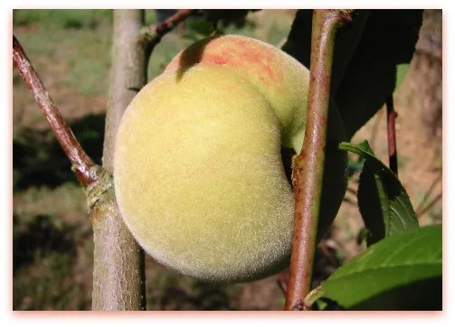Charlotte Peach on the tree