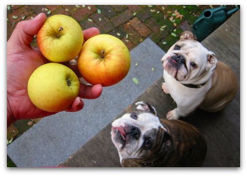 Boz and Gracie do the math; everyone gets an apple.