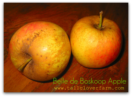 Blog_belle_de_boskoop_apple