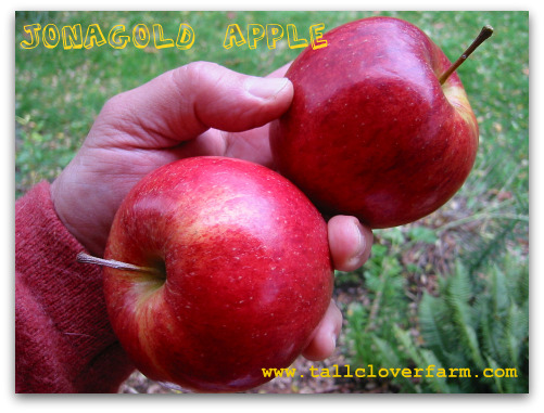 Jonagold Apples