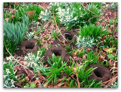 Primer Lily Blooms | Fairegarden