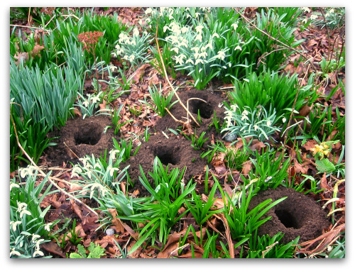 digging holes lily bulbs