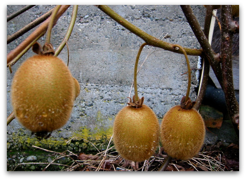 blog_kiwi_fruit_upclose
