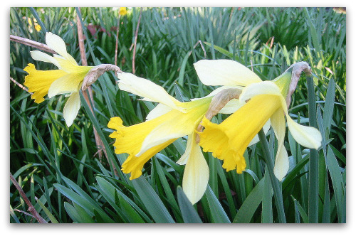 2010_03_05_blog_daffodil_closeup