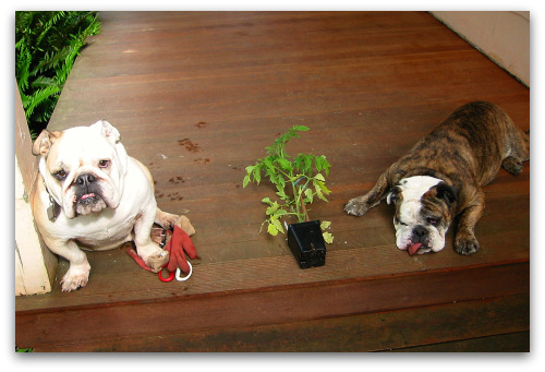 tomato start and two bulldogs