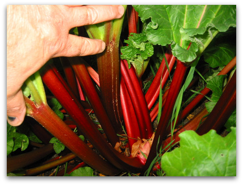 homegrown crimson rhubarb stalks