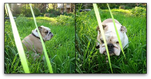 Boz the bulldog in tall grass