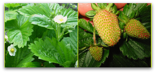 Alpine and everbearing strawberry plants