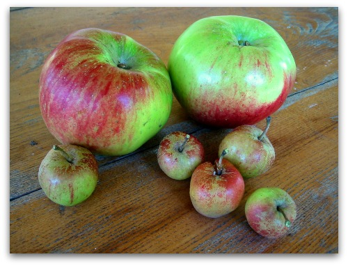Bramley apples and cox pippins