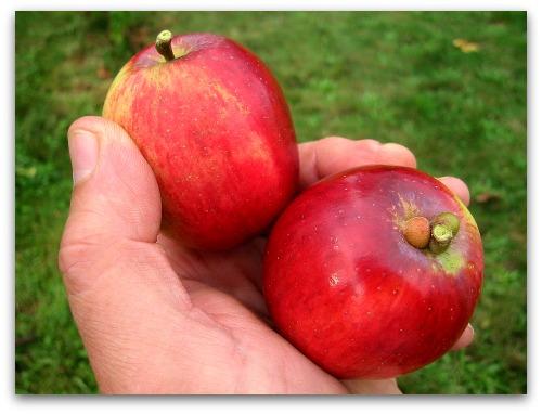 homegrown Liberty apples