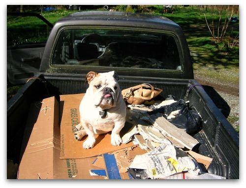 bulldog in a pickup