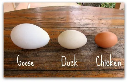 Goose egg, Duck egg, chicken egg