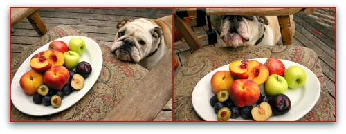 Boz the bulldog begs for peaches