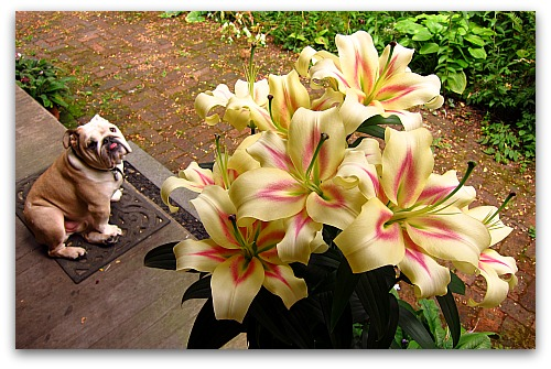 how to make lily flower